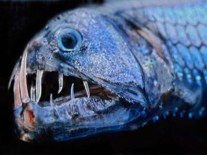 viper-fish
