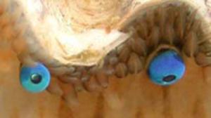 scallop_eye