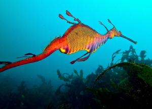 Weedy Sea Dragon2