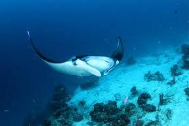 manta swimming2